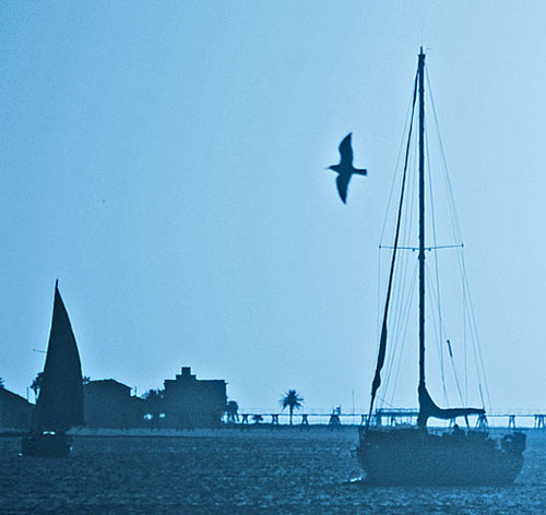 Sea bird flying near two sailboats along Galveston's north shore